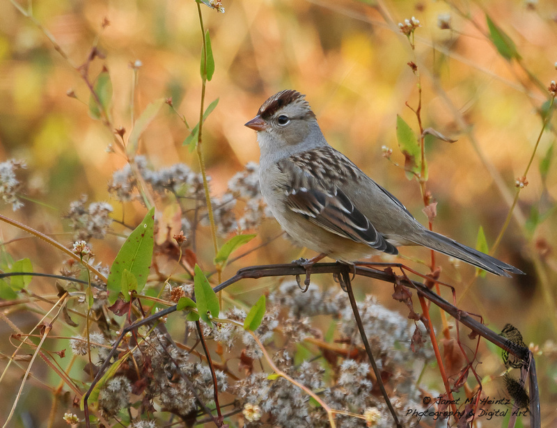 White-crowned Sparrow (Zonotrichia leucophrys) -5675