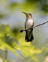 Ruby-throated Hummingbird-2505