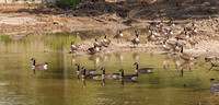 Canada Geese-1091