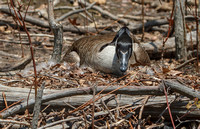 Canada Goose on nest-5782
