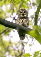Barred Owl-3455