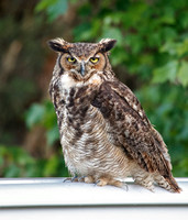 Great Horned Owl (Bubo virginianus) 1546