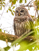 Barred Owl (Strix varia) 3007