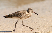 Wading Birds & Shore Birds