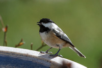 Black-capped Chickadee at birdbath