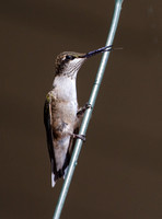 Ruby-throated Hummingbird.