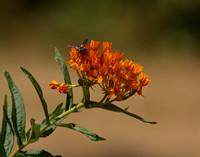 Butterfly Weed-1055.tif