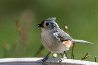 Titmouse at birdbath-7758