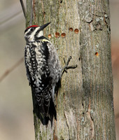 Woodpeckers, Sapsuckers & Flickers