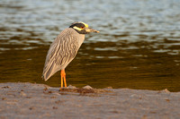 Yellow -crowned Night-Heron2931.tif