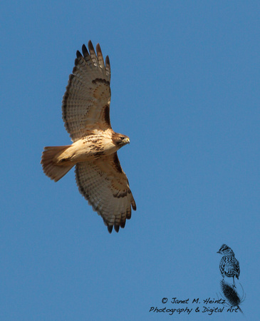 Red-tailed Hawk, (Buteo jamaicensis),