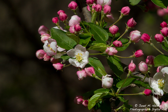 Apple blossoms-5523