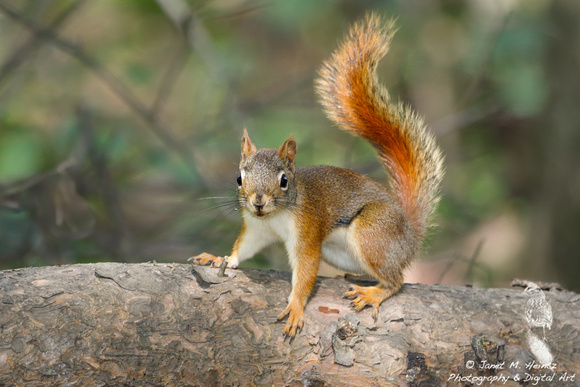 American Red Squirrel,Tamiasciurus hudsonicus-5526
