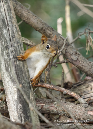 American Red Squirrel,Tamiasciurus hudsonicus-5540