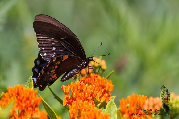 Black Swallowtail butterfly-(Papilio polyxenes)-female--2062