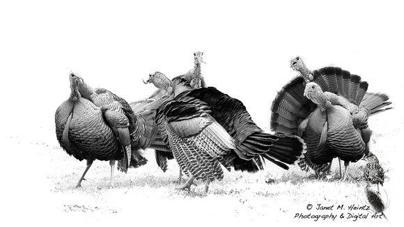 Wild turkey drawing-2