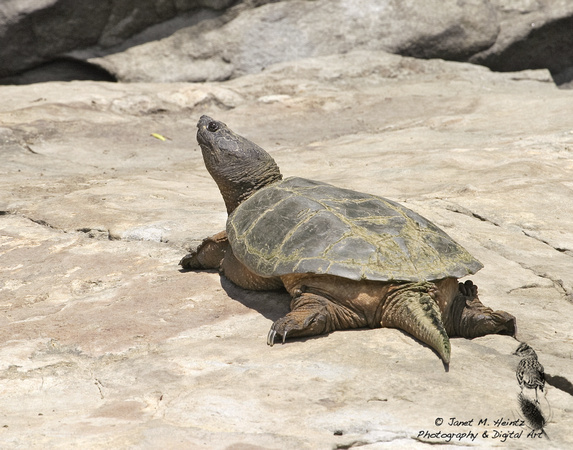 Snapping Turtle-2323.tif