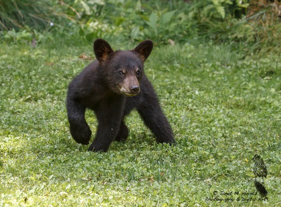Black Bear  Cub - Allegheny National Forest-3825