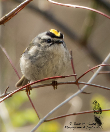 Golden-crowned Kinglet (Regulus satrapa)-0086