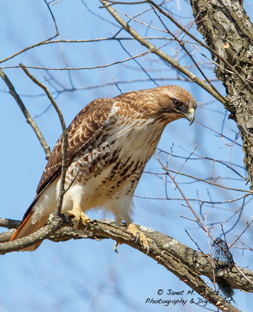 Red-tailed Hawk (Buteo jamaicensis)0493