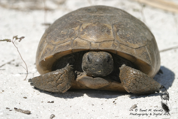 Gopher Tortoise-3016.tif