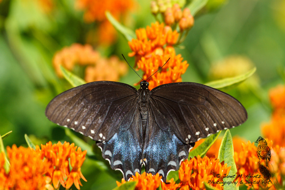 Black Swallowtail butterfly-(Papilio polyxenes)-female--2077