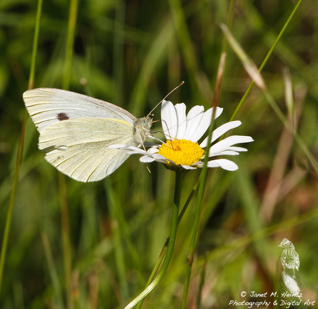 Cabbage Butterfly-3309.tif