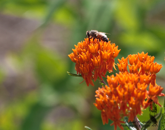Butterfly Weed with honey bee-1118.tif