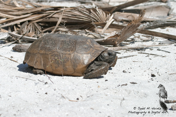Gopher Tortoise-3017.tif