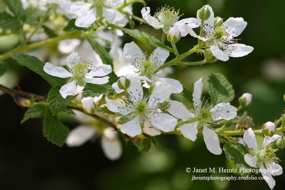 Blackberry Blossoms-0593.jpg
