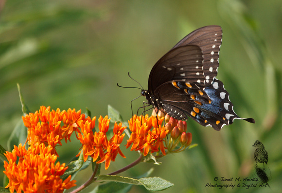 Black Swallowtail on butterfly weed