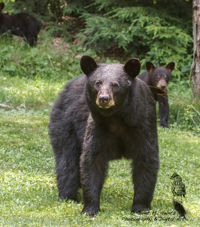 Black Bear - Allegheny National Forest-3829