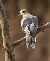 Mourning Dove-5066.tif