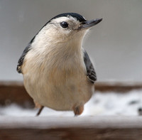 Nuthatch & Creepers