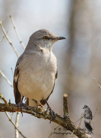 Northern Mockingbird (Mimus polyglottos) 0374