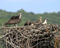 Osprey-on nest-2407.tif