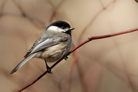 Black-capped Chickadee-8259