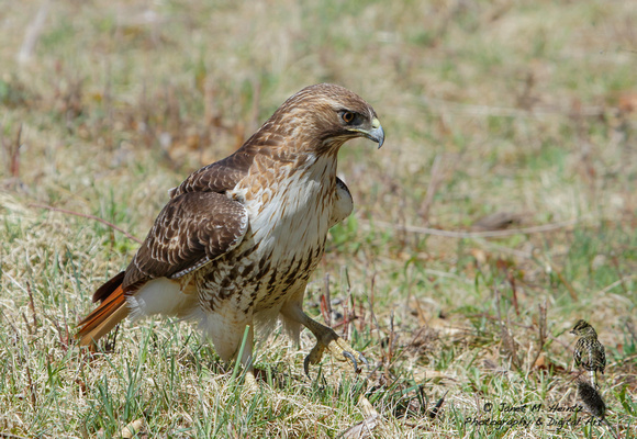 Red-tailed Hawk (Buteo jamaicensis)0503