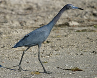 Little Blue Heron -3020.tif
