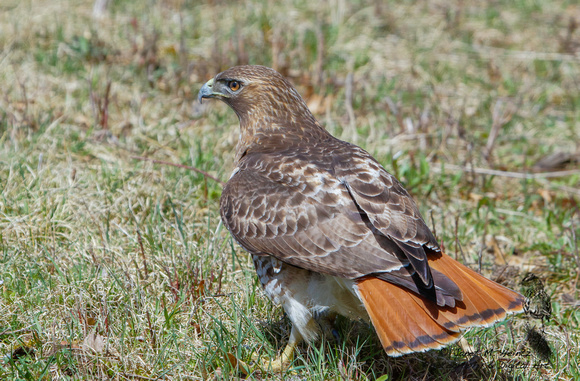Red-tailed Hawk (Buteo jamaicensis)0538